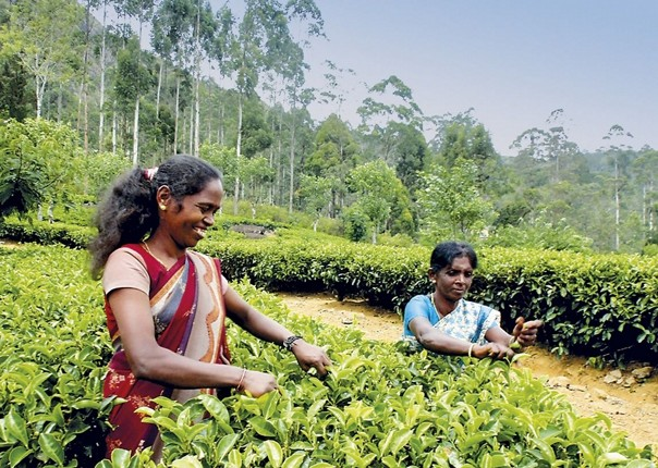 Tea Picking.jpg - Sri Lanka - Meet the People Tours