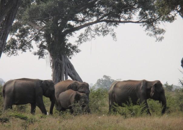 Wild Elephants.jpg - Sri Lanka - Meet the People Tours