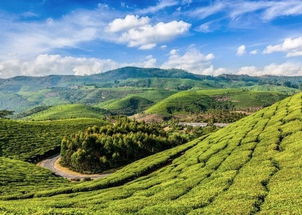 Kerala Tea Estate.jpg - Southern India - Meet the People Tours