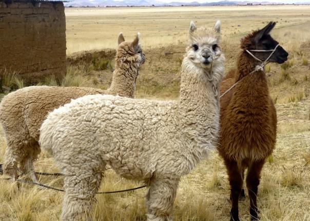 Alpaca.jpg - Peru - Meet the People Tours