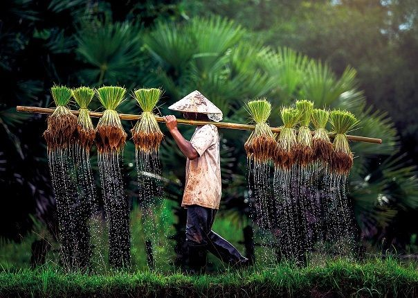 Vietnam Rice Paddy.jpg - Vietnam - Meet the People Tours