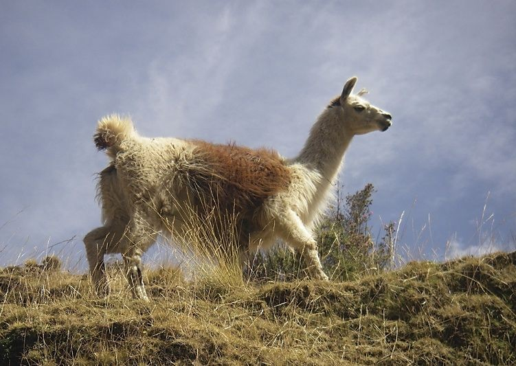 Llama.jpg - Inca Trails in Peru - Meet the People Tours