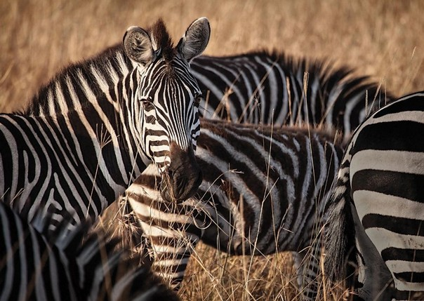 Zebras - Malawi - Meet the People Tours