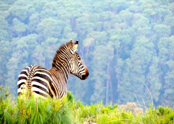 Zebra at Nyika - Malawi - Meet the People Tours