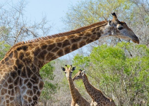 Giraffe - Eswatini (Swaziland) - Meet the People Tours