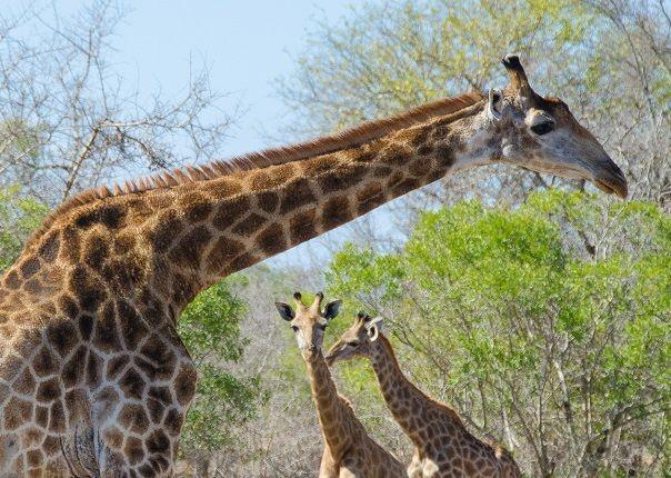 Giraffe - Swaziland - Meet the People Tours