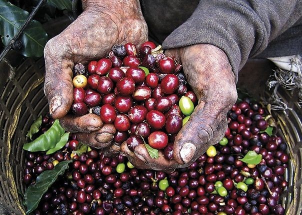 Coffee Cherries - Costa Rica - Meet the People Tours