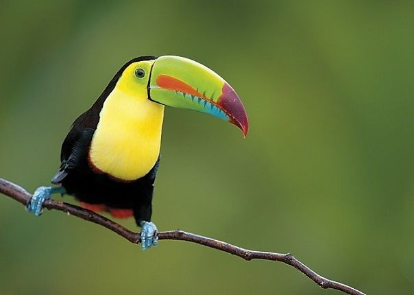 Toucan - Costa Rica - Meet the People Tours