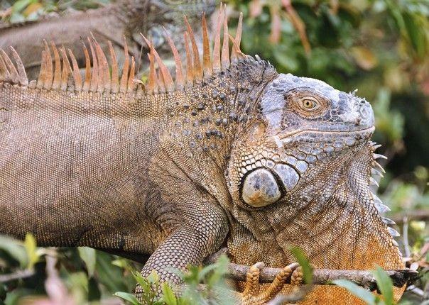 Iguana - Costa Rica - Meet the People Tours