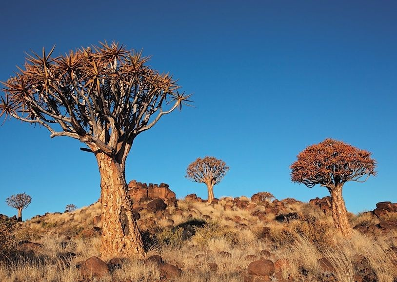 Quiver Trees - South Africa - Meet the People Tours
